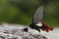 Endemic to SE Asia—the secrets of the ancestry of world-renowned dream species broad-tailed swallowtail butterfly (Agehana maraho) revealed